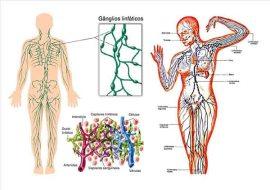 cuerpo-humano2